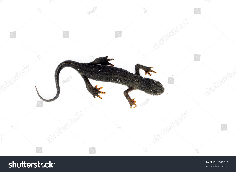 salamander white background - photo #44