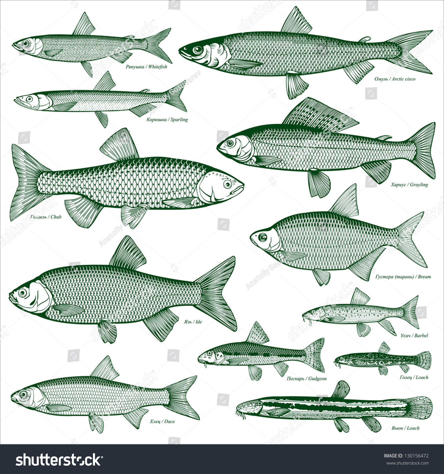 Freshwater fish dace - Fish Freshwater Vector 3 Types Freshwater Fish Silhouettes Of Fish Isolated Background
