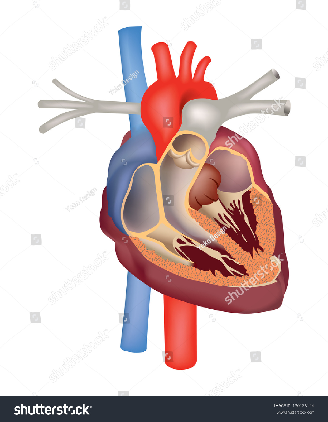 Heart anatomy medical sign human heart stock vector 130186124 heart anatomy medical sign human heart cross section structure ccuart Choice Image