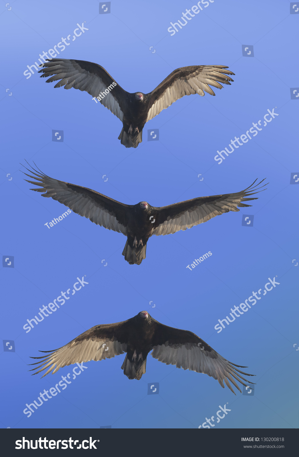 Coming for you Turkey Vulture . Latin name - Cathartes aura.