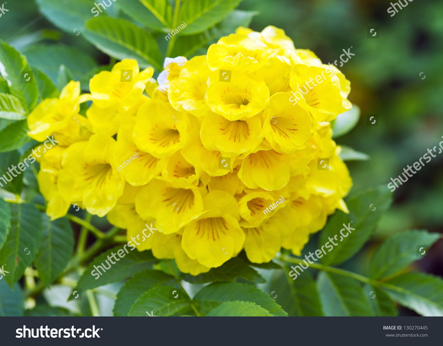 Large Cluster Yellow Elder Flower Call Stock Photo Edit Now