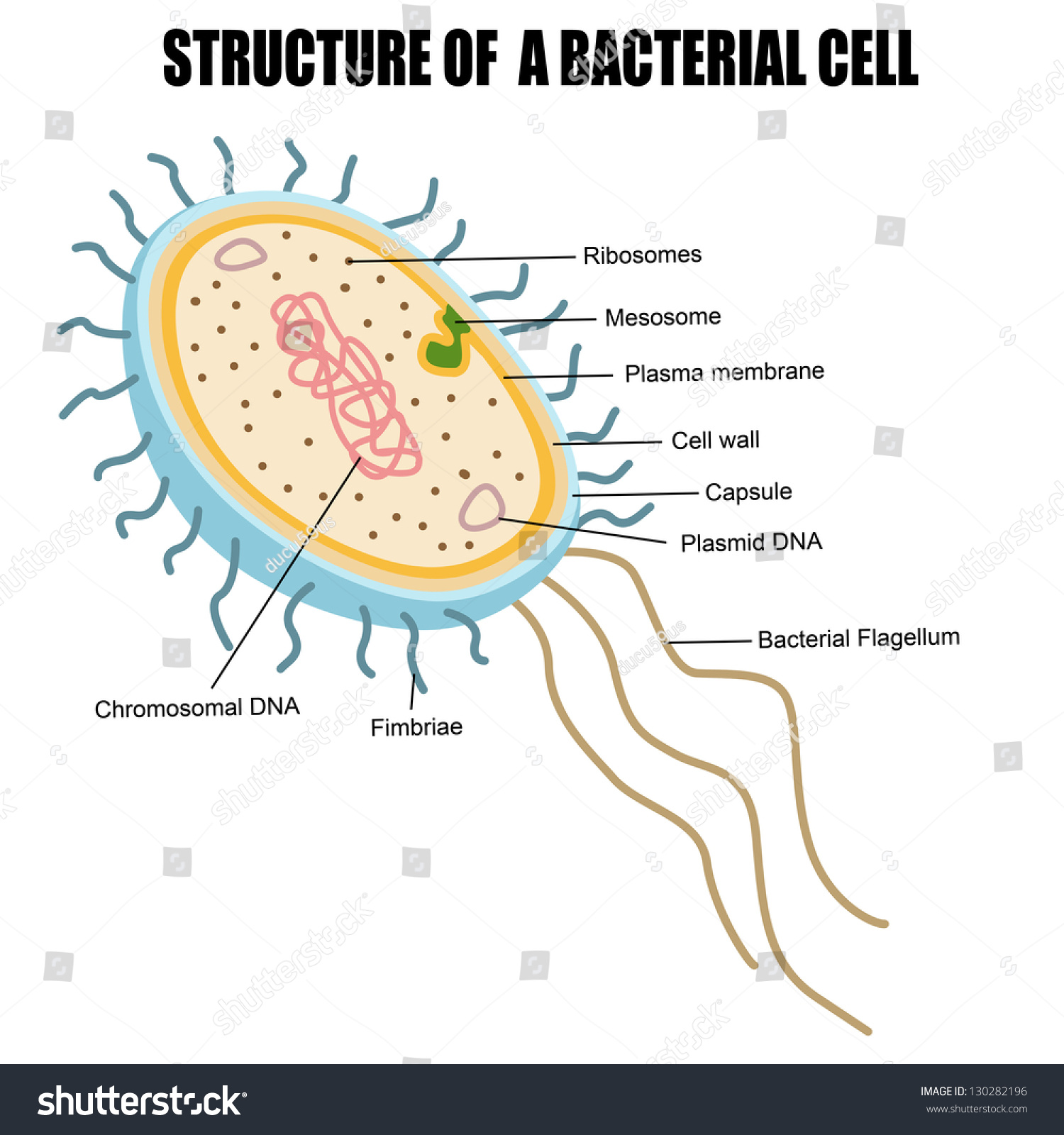 Structure Bacterial Cell Vector Illustration For Stock Circuits Circuitsymbols Jpg 646 Electrical Of A Basic Medical Education Clinics