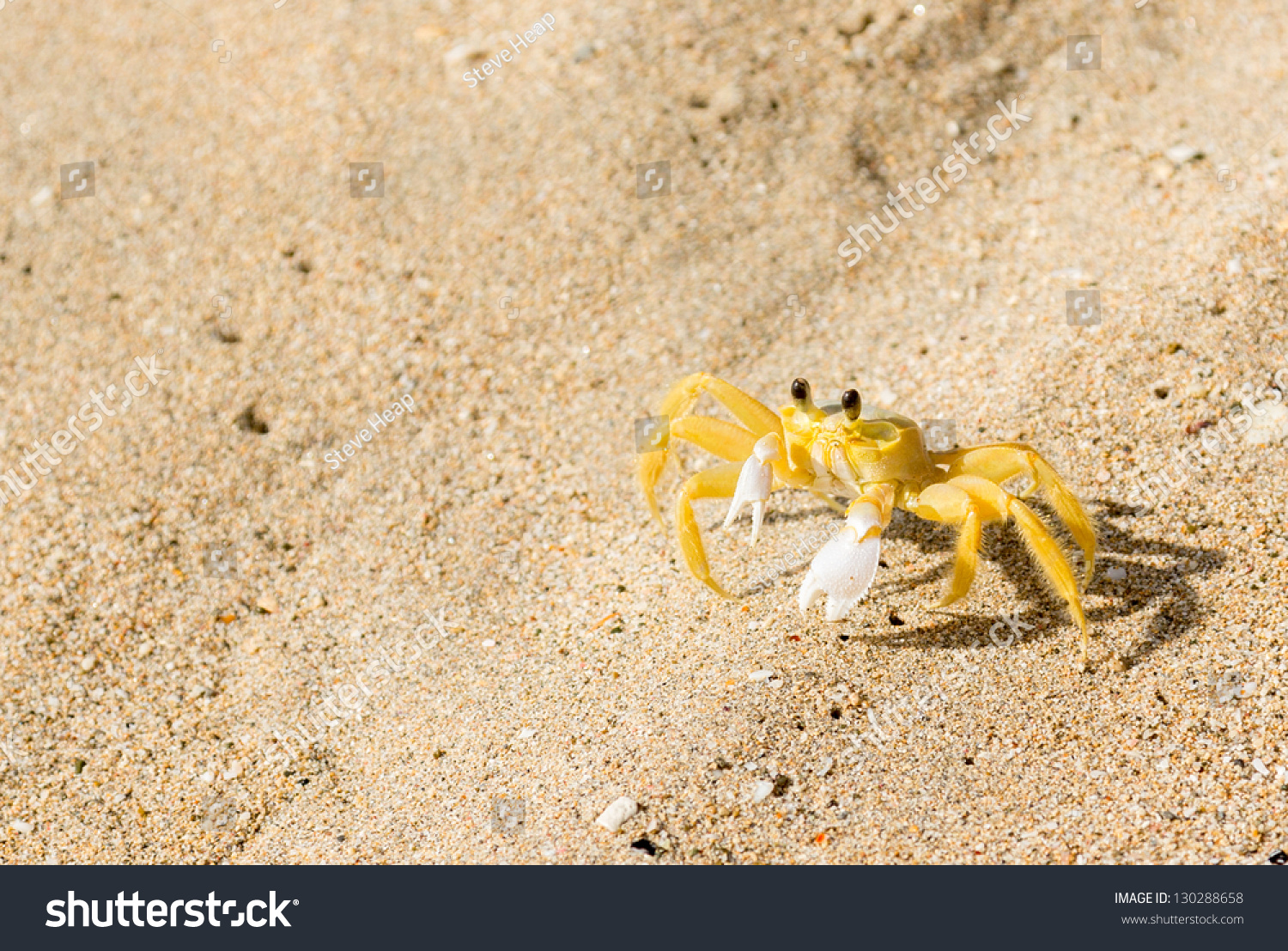 Yellow Ghost Or Sand Crab With White Claws On Sandy Beach ...