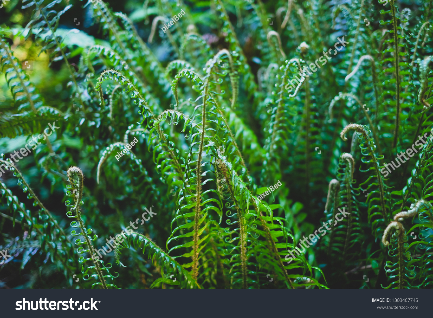 Curling leaves of bright green evergreen fern plants #1303407745
