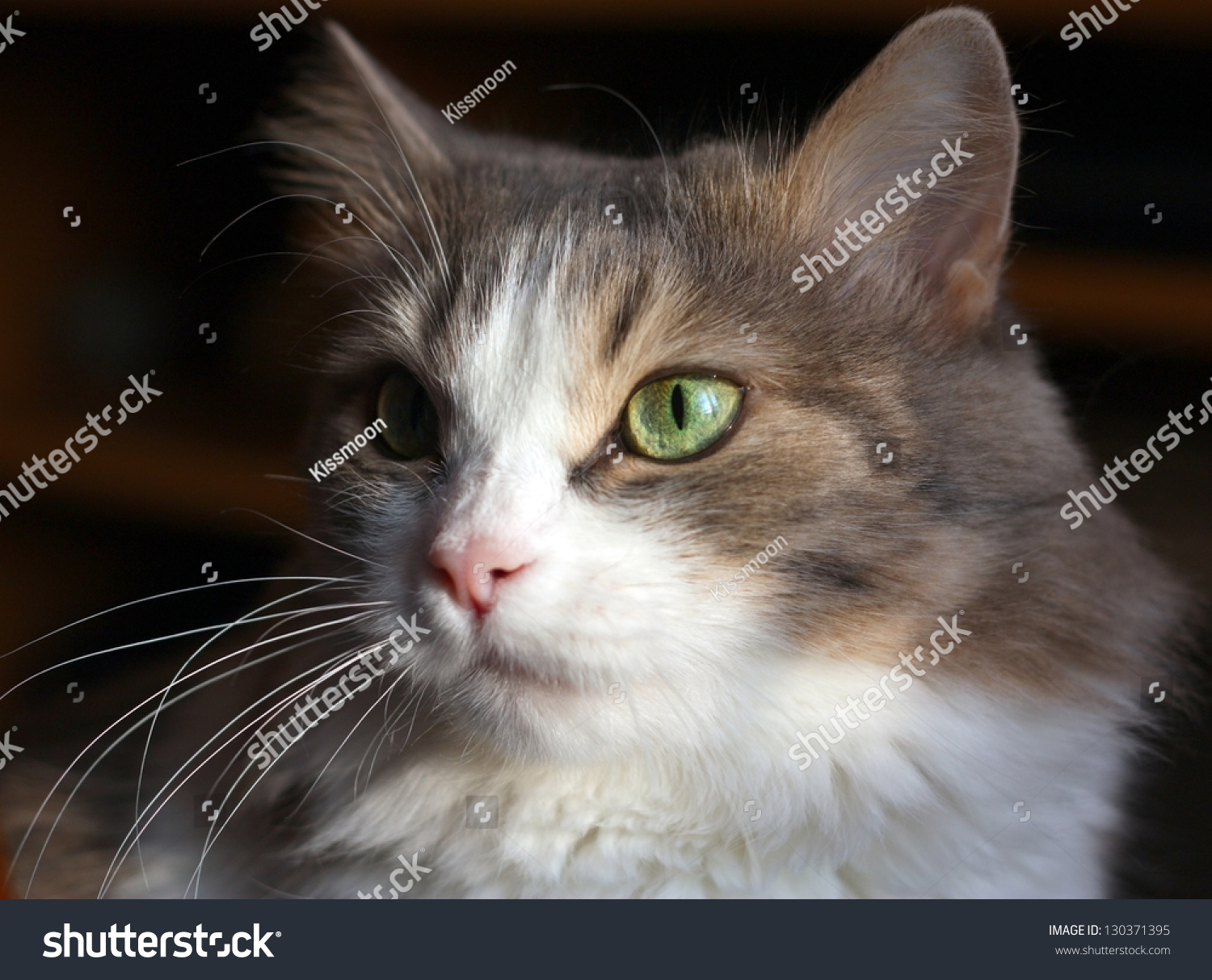 Pretty Cat Dark Background Stock Shutterstock