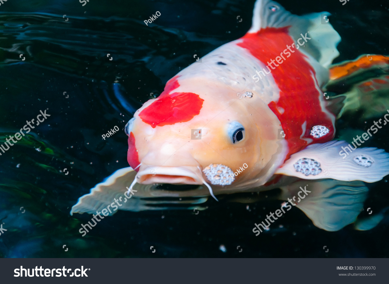 Beautiful koi fish swimming in the pond stock photo for Beautiful koi fish