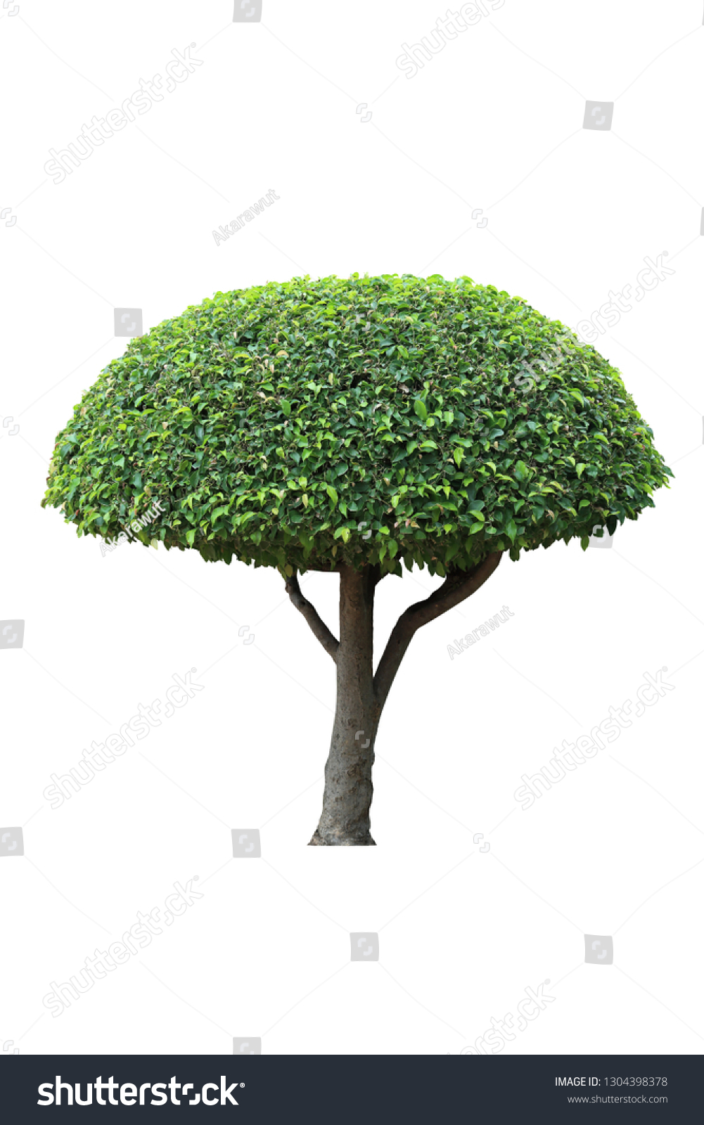 Umbrella Shape Trim Topiary Tree Isolated Stock Photo Edit Now 1304398378