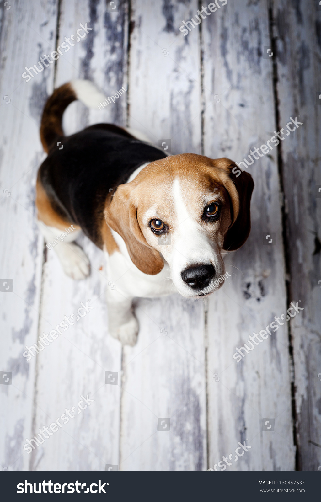 Cute hunting dog  portrait on wooden floor #130457537
