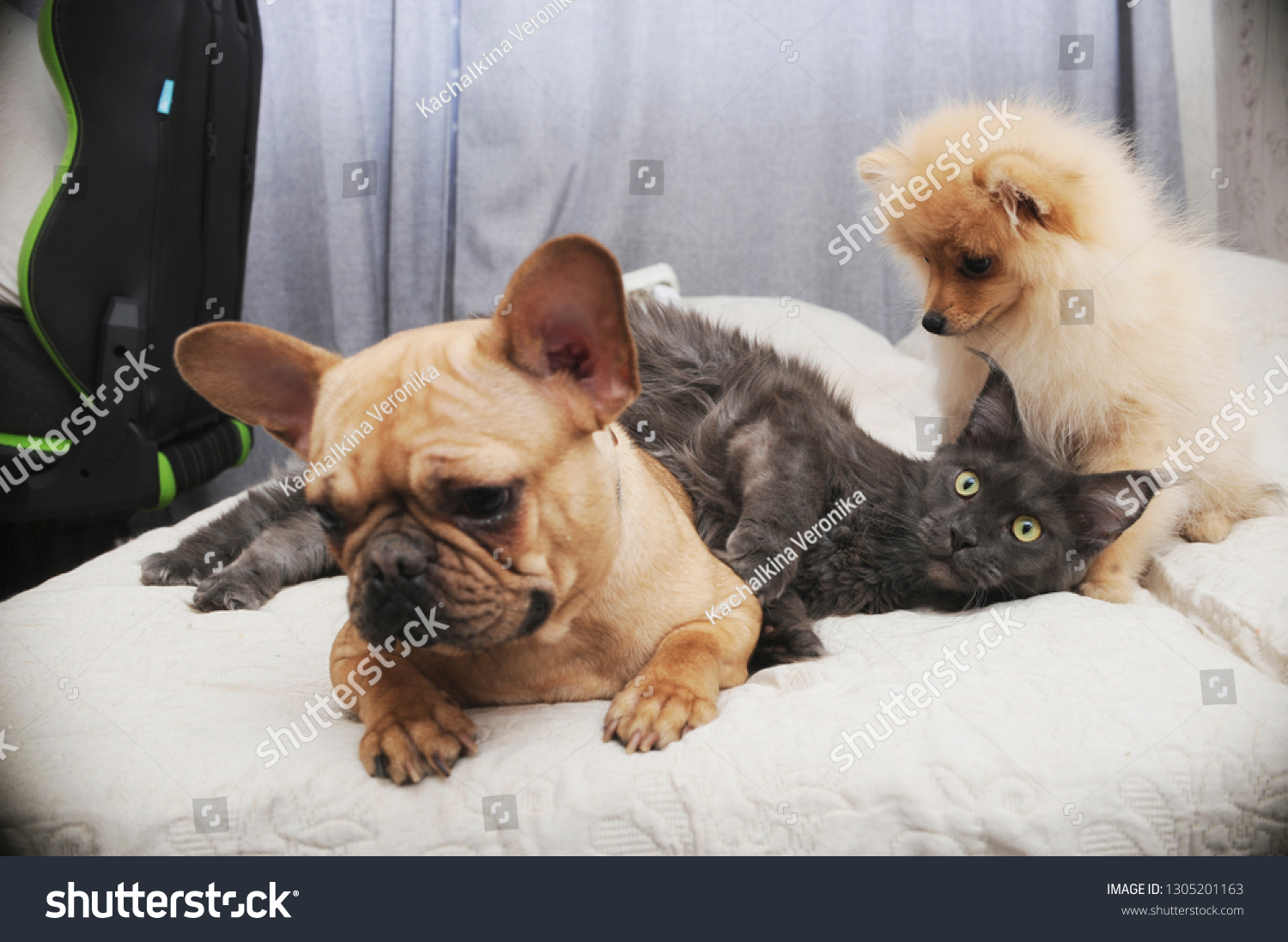 Adorable Dogs Cute Cat Lying Together Stock Photo Edit Now 1305201163