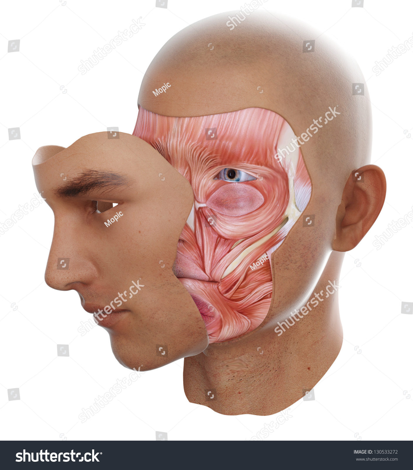 Face Anatomy Visible Face Muscles Stock Illustration 130533272 ...