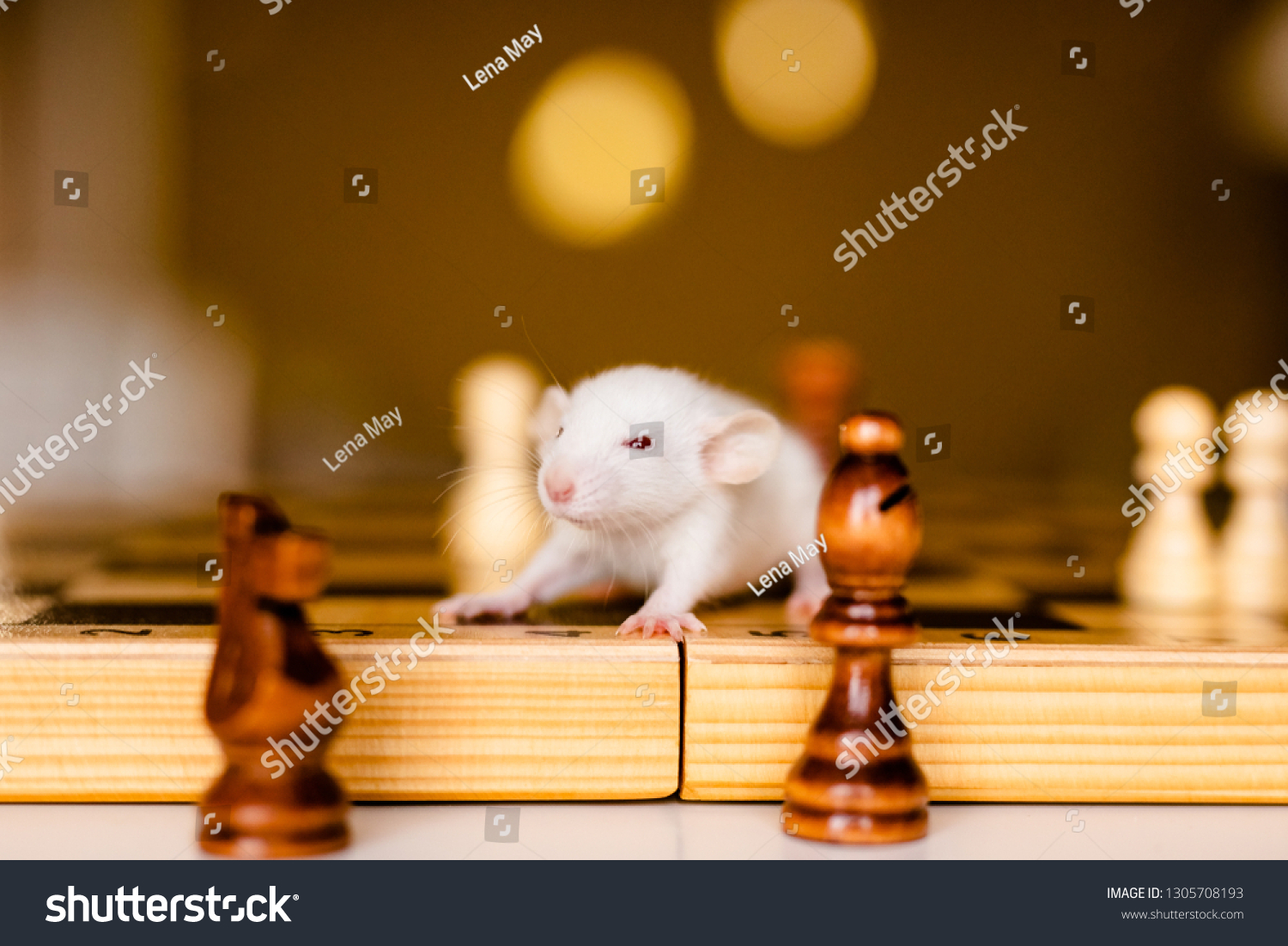 Cute little white rat with big ears siting on the chess board on the warm yellow background. #1305708193