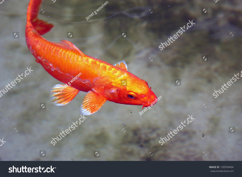 Koi Fish White Tips Stock Photo & Image (Royalty-Free) 130599404 ...