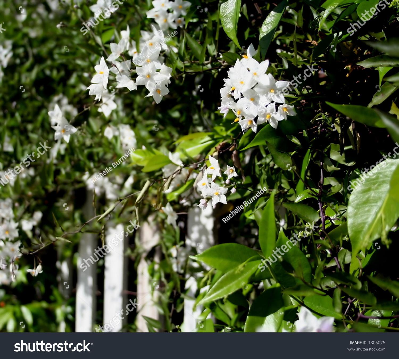 potato vine white picket fence stock photo shutterstock