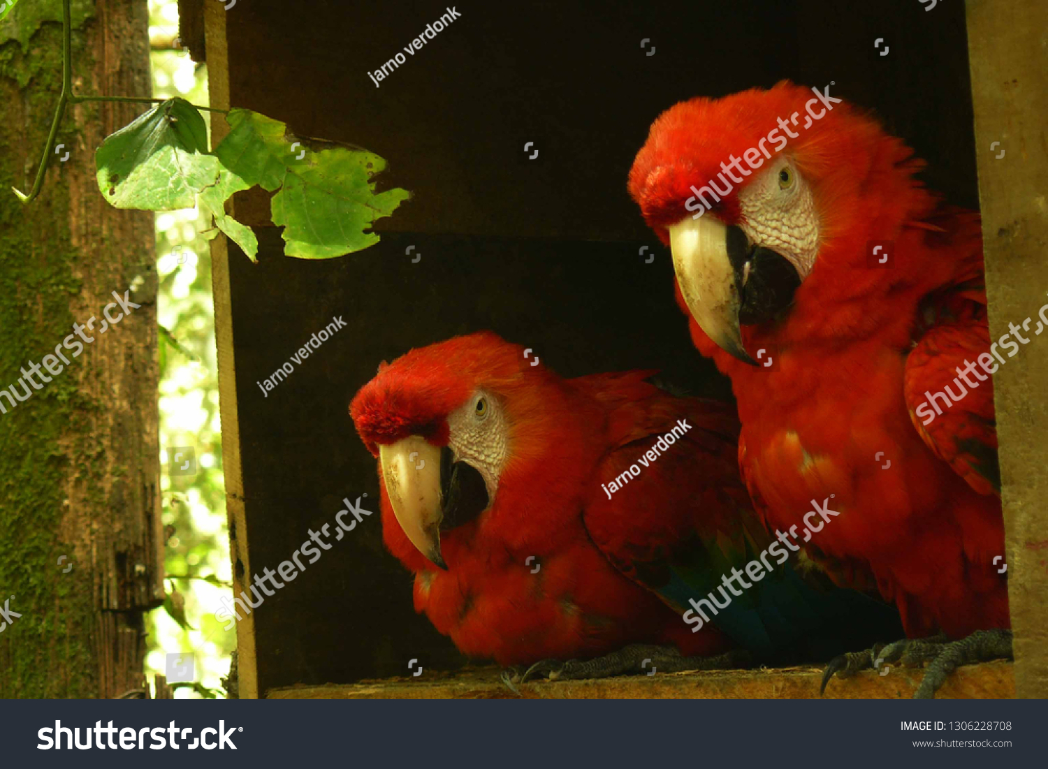stock-photo-a-couple-of-scarlet-macaws-s