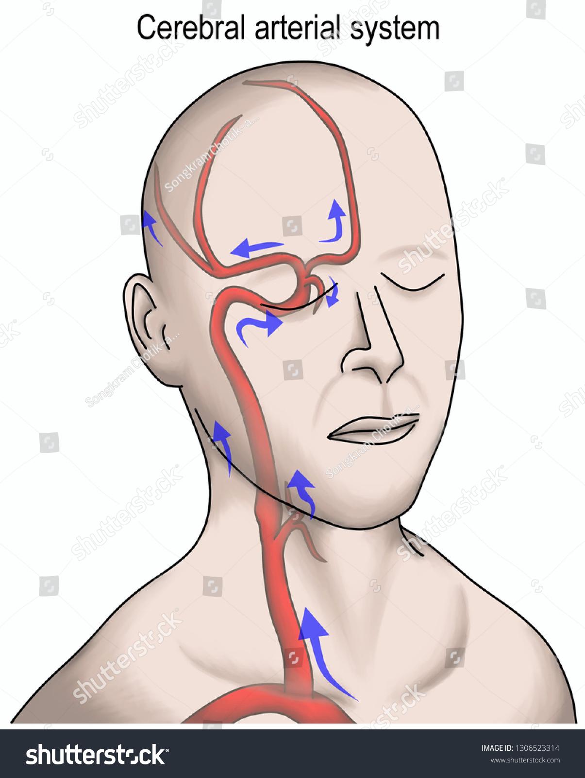 Royalty Free Stock Illustration Of Arterial System Feeding Brain