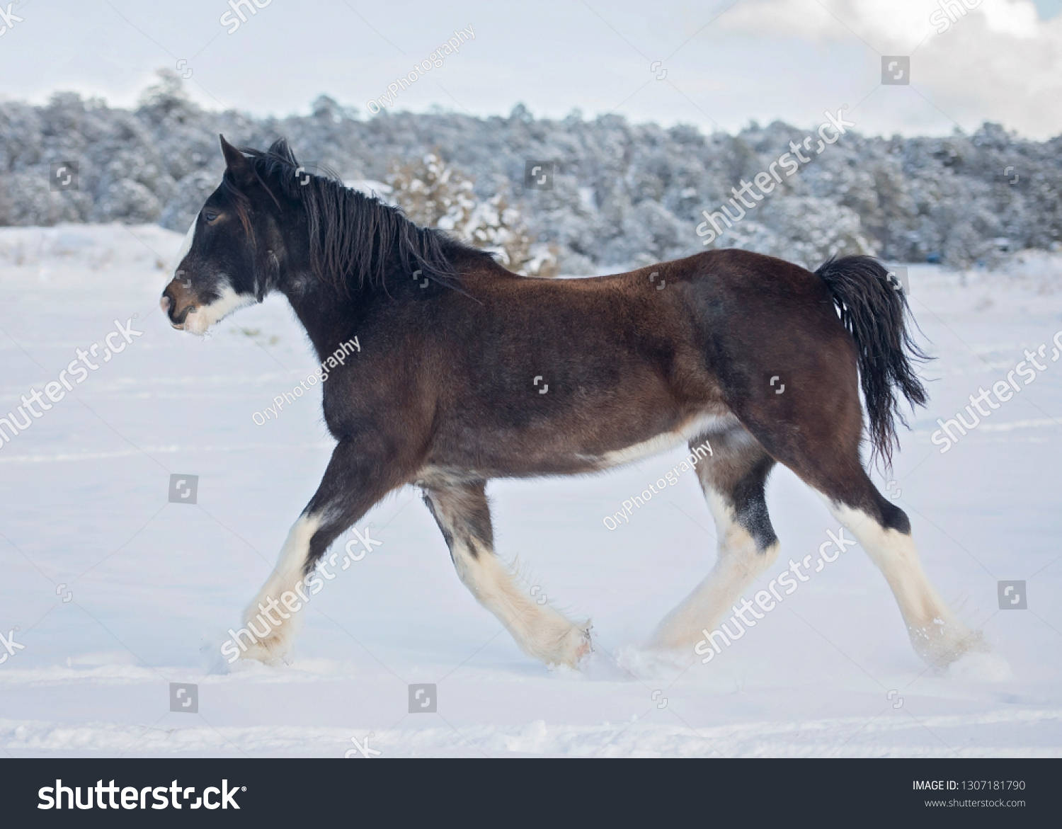 Black Clydesdale Trotting Snow Stock Photo Edit Now 1307181790
