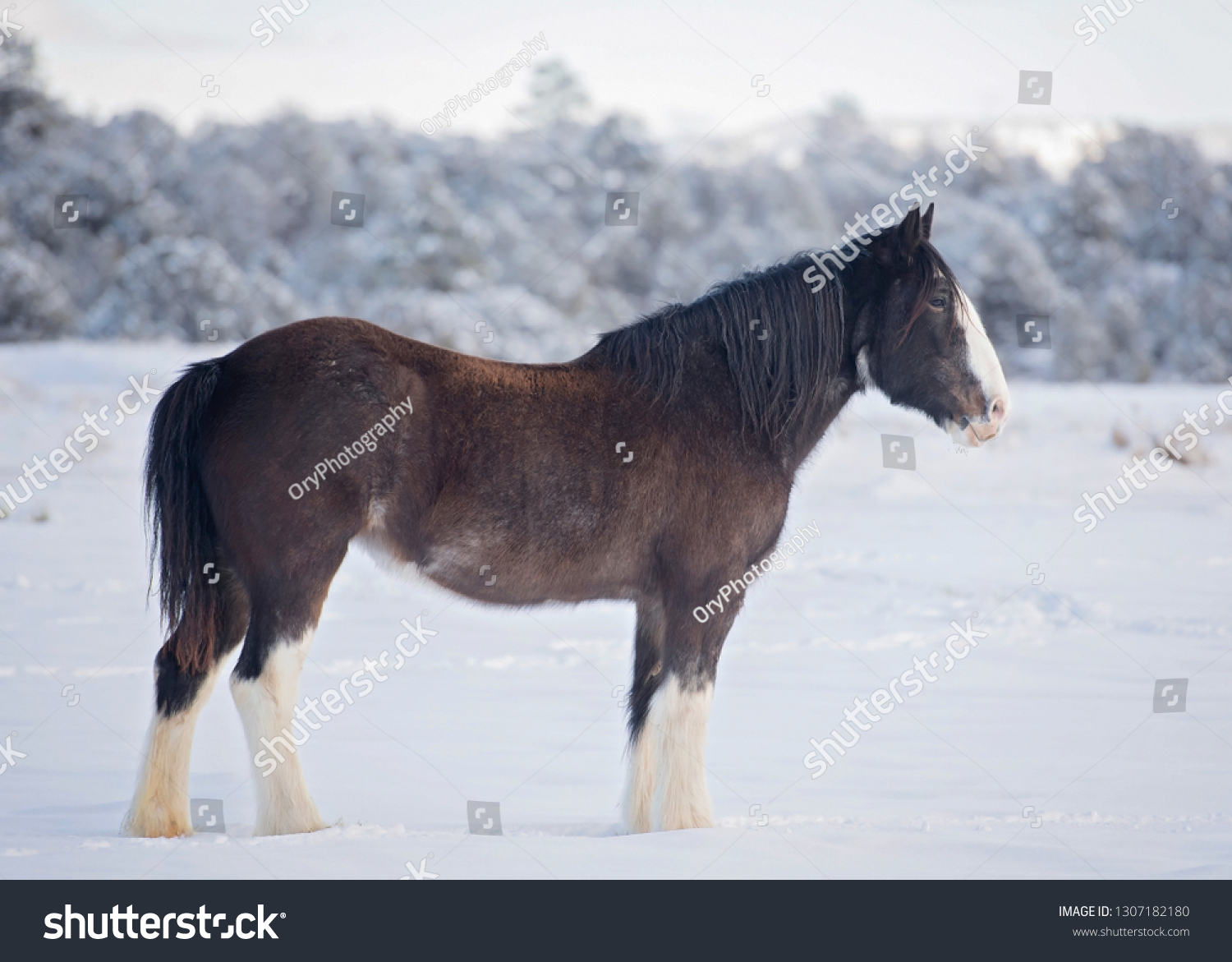 Black Clydesdale Snow Stock Photo Edit Now 1307182180