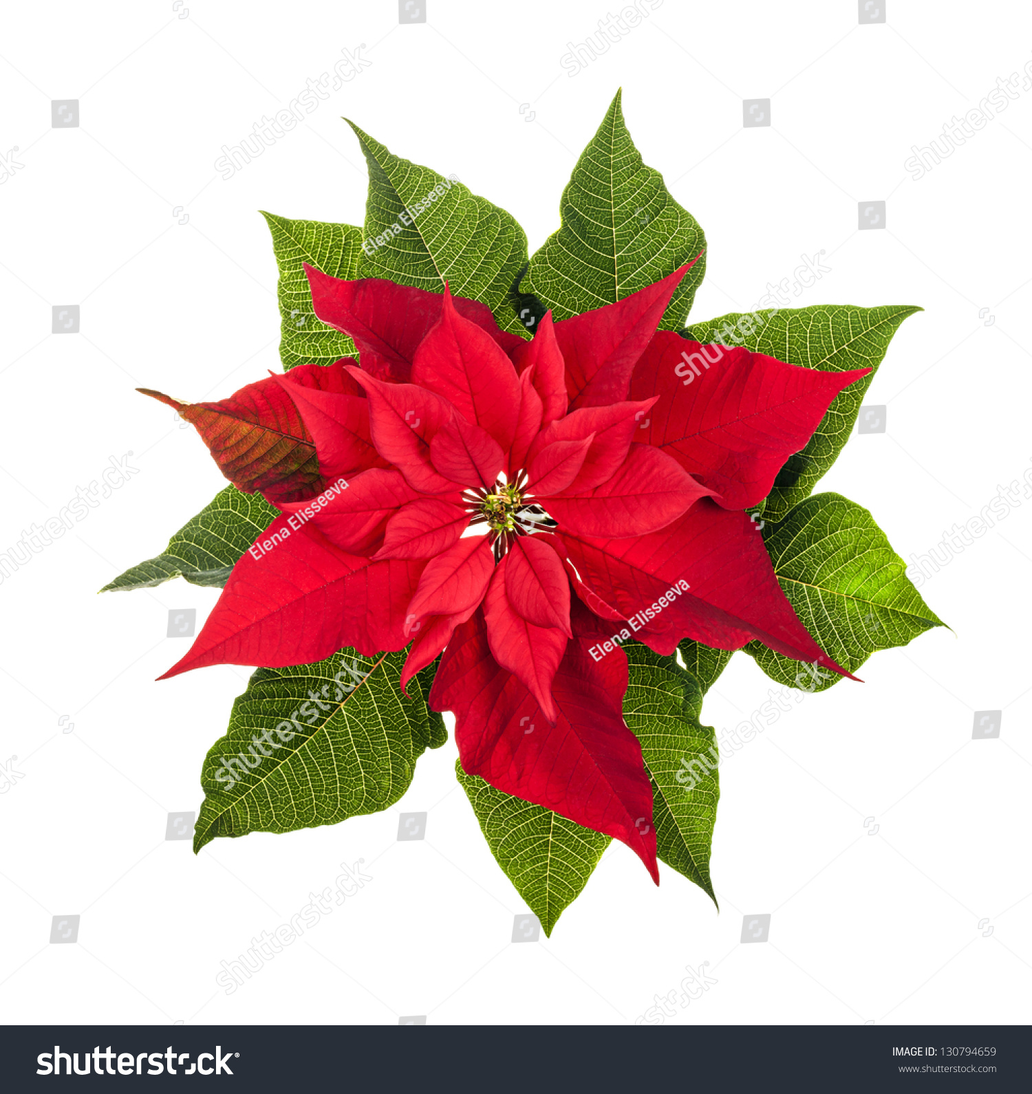 red green poinsettia plant christmas isolated stock photo