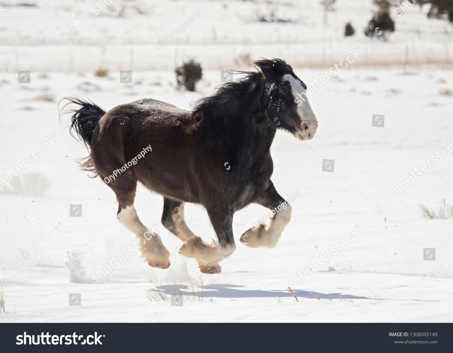 Black Clydesdale Running Snow Stock Photo Edit Now 1308005149