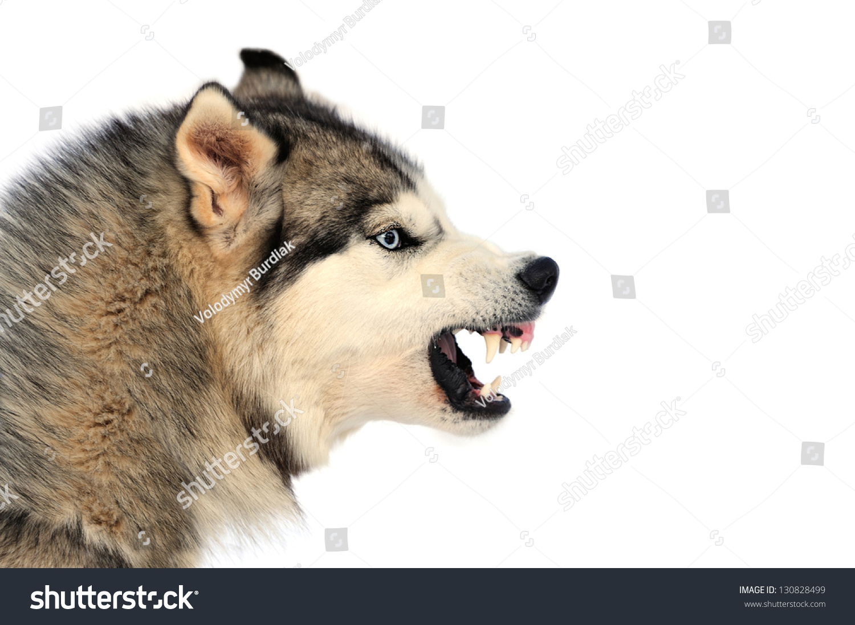 Angry Siberian Husky Dog Winter Portrait Stock Photo ...