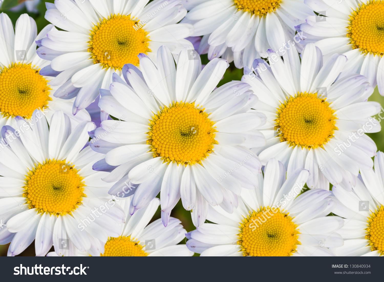 White daisy flower white petals yellow stock photo edit now white daisy flower with white petals and yellow disc background mightylinksfo