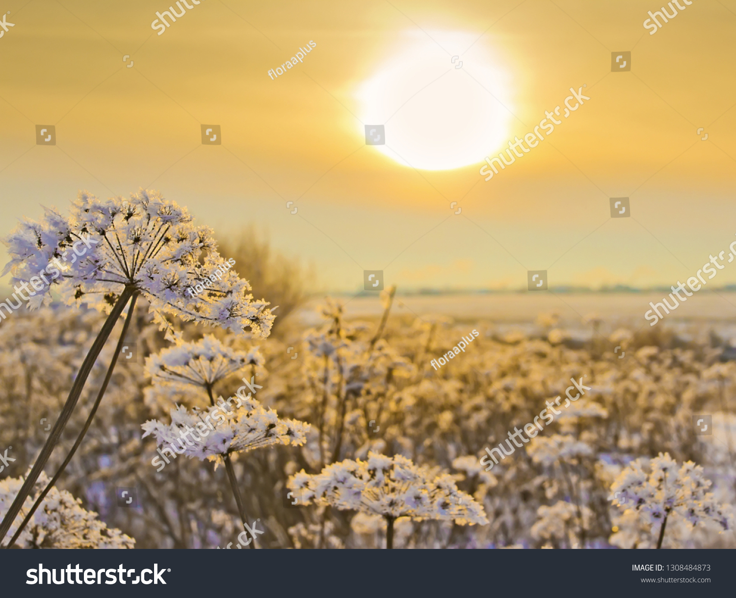 Winter sunset in the field. Dry inflorescences of a cow-parsnip stand covered with hoarfrost. The photo with the place for the text