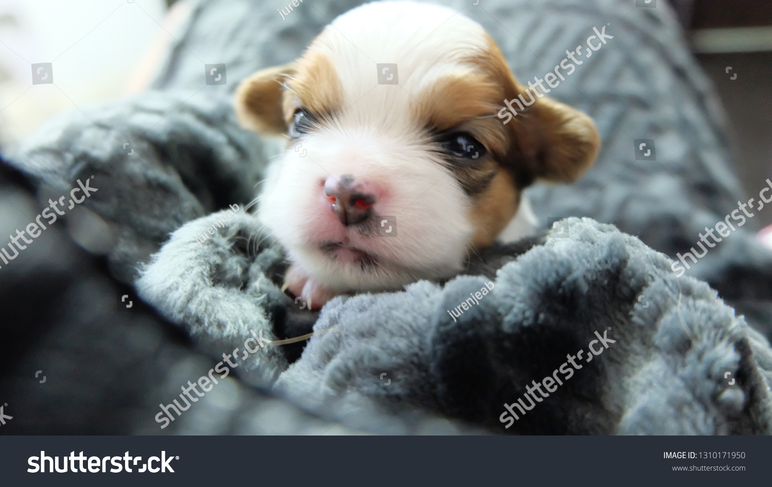 Chihuahua Puppy Grey Blanket Stock Photo Edit Now 1310171950