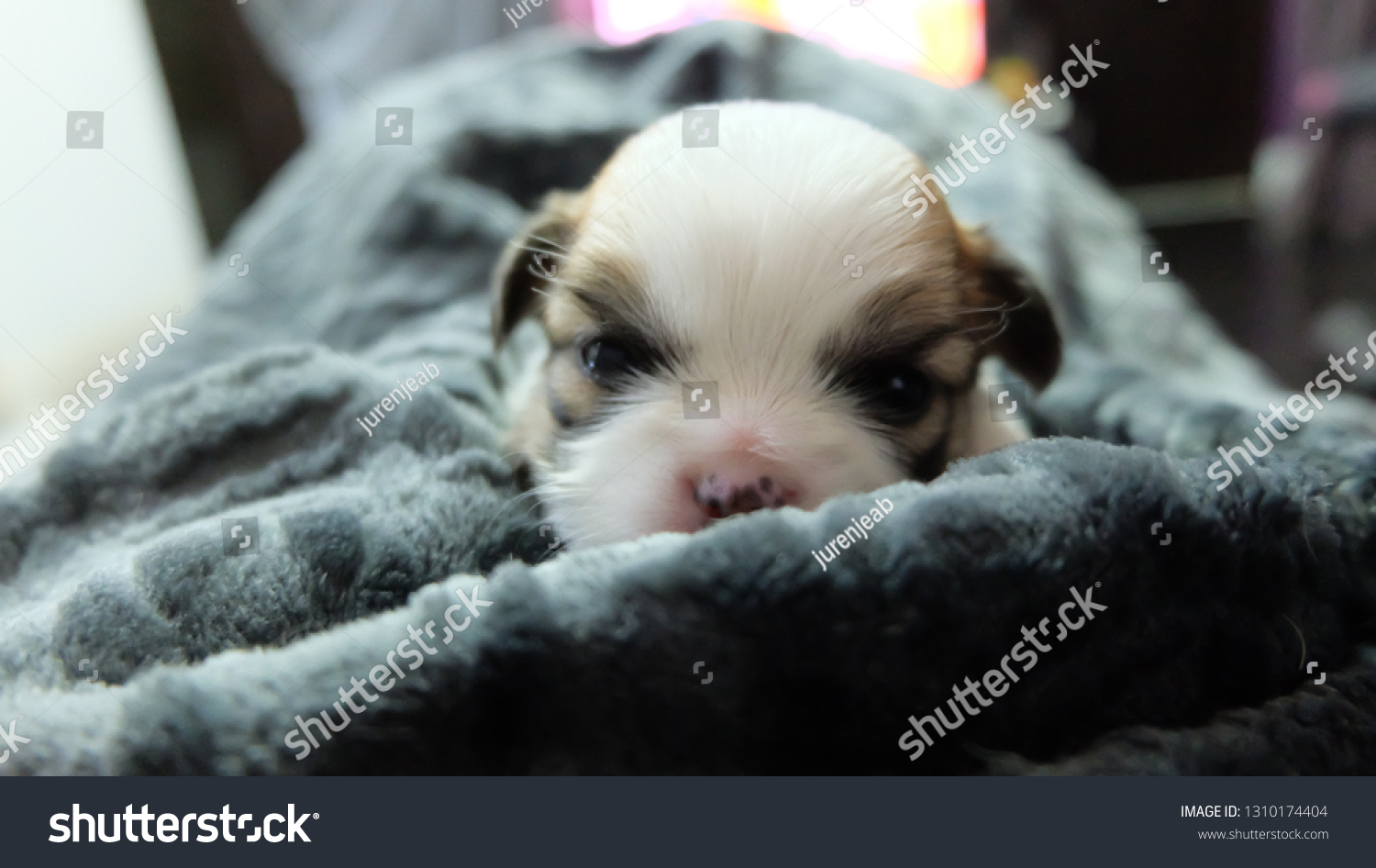Chihuahua Puppy Grey Blanket Stock Photo Edit Now 1310174404