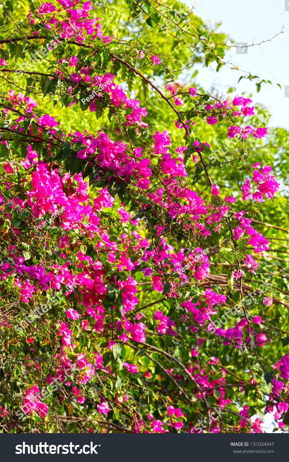 Beautiful Blossoming Bush Pink Flowers Muscat Stock Photo Edit Now