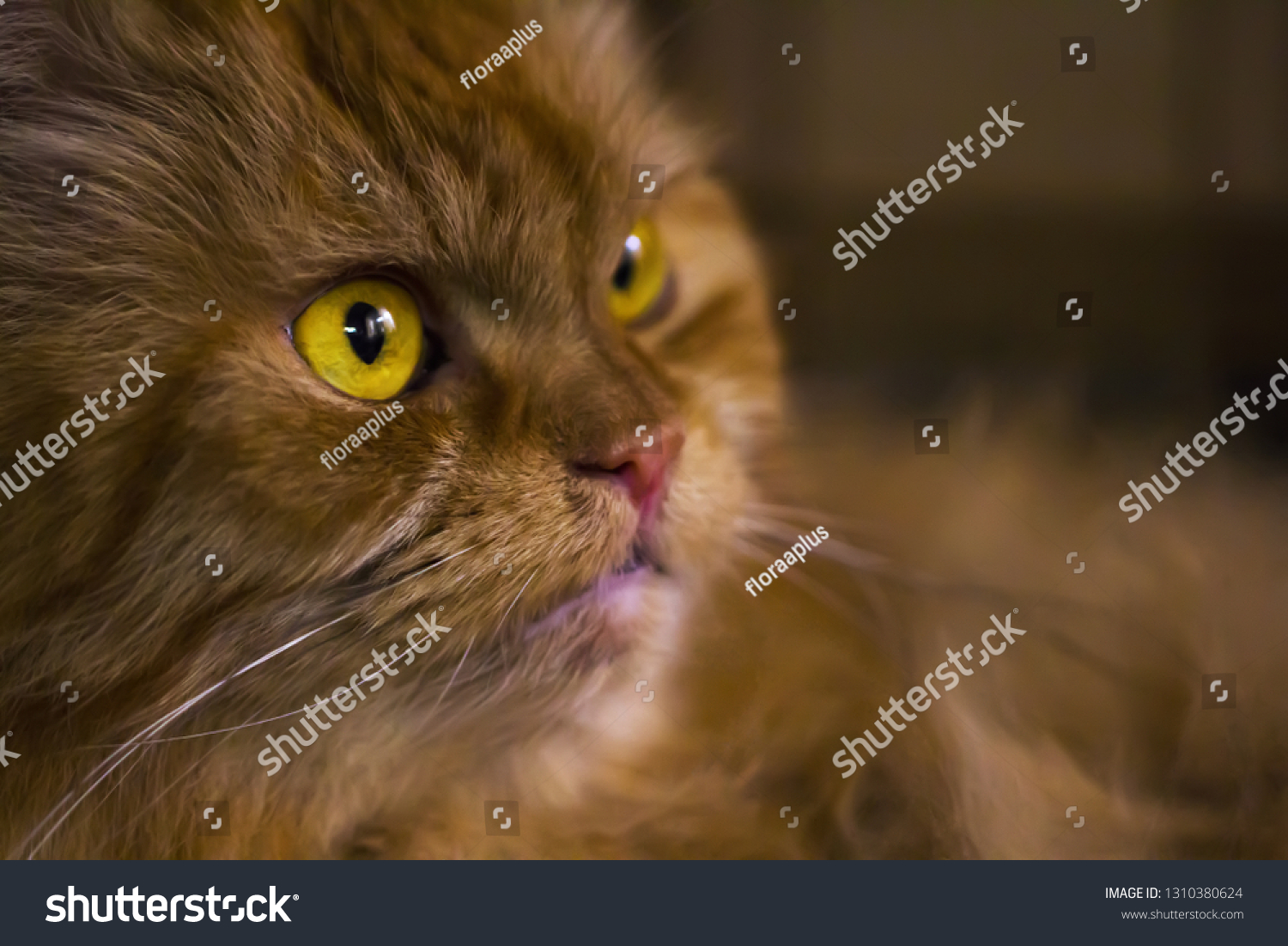 stock-photo-portrait-of-a-red-persian-ca