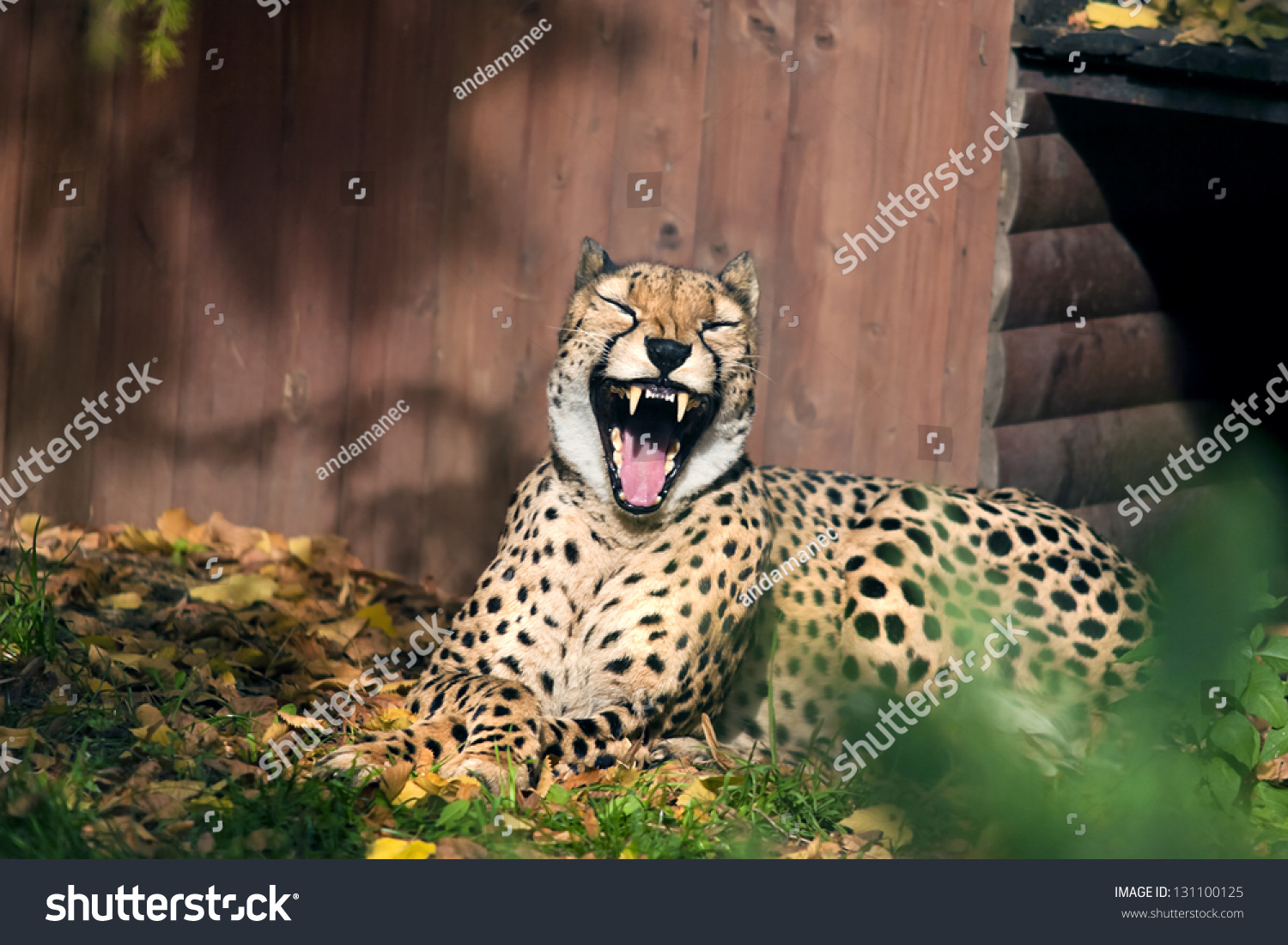 laughing cheetah stock photo 131100125