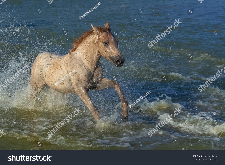 Horses Running Water Beautiful Wild Horses Stock Photo Edit Now 1311711998
