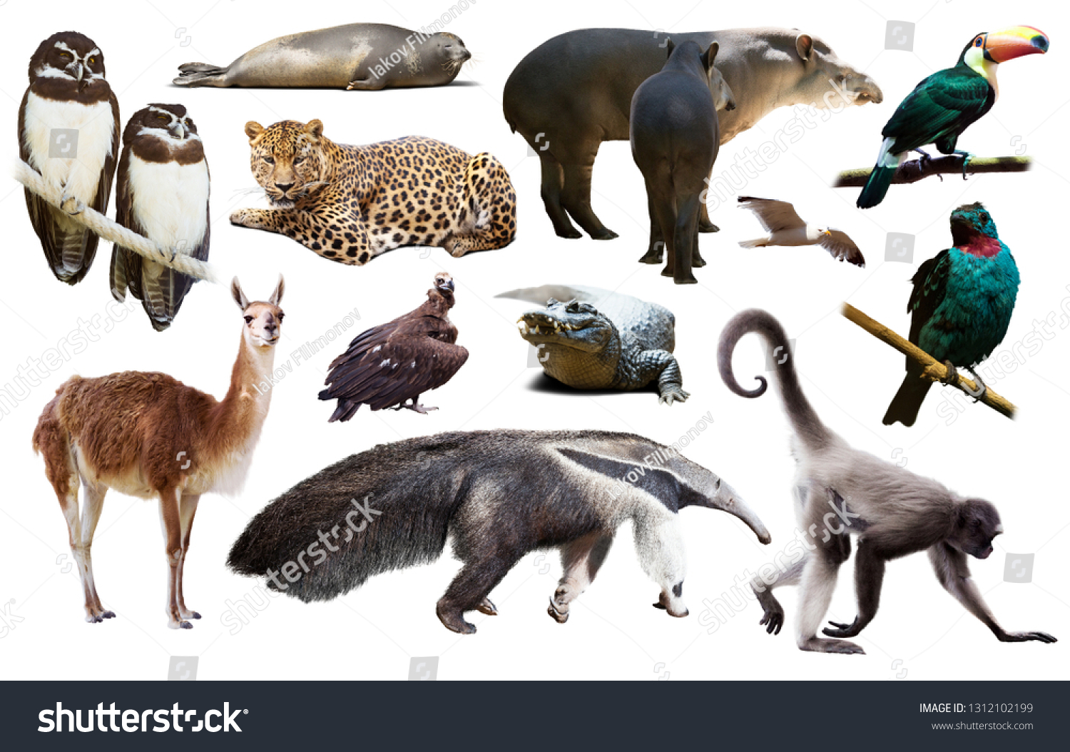 assortment of many south american wild birds, mammals, reptiles and insects isolated on white background
