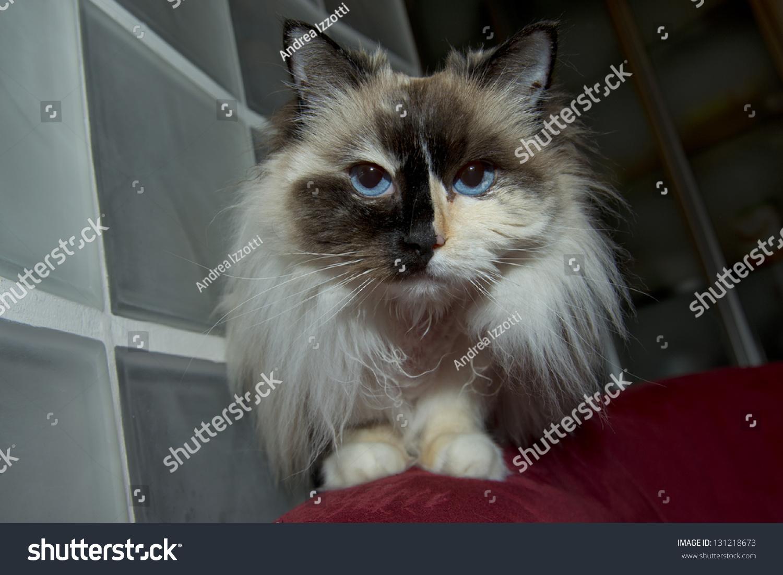 Blue Eyes White Black Ragdoll Cat Stock Shutterstock