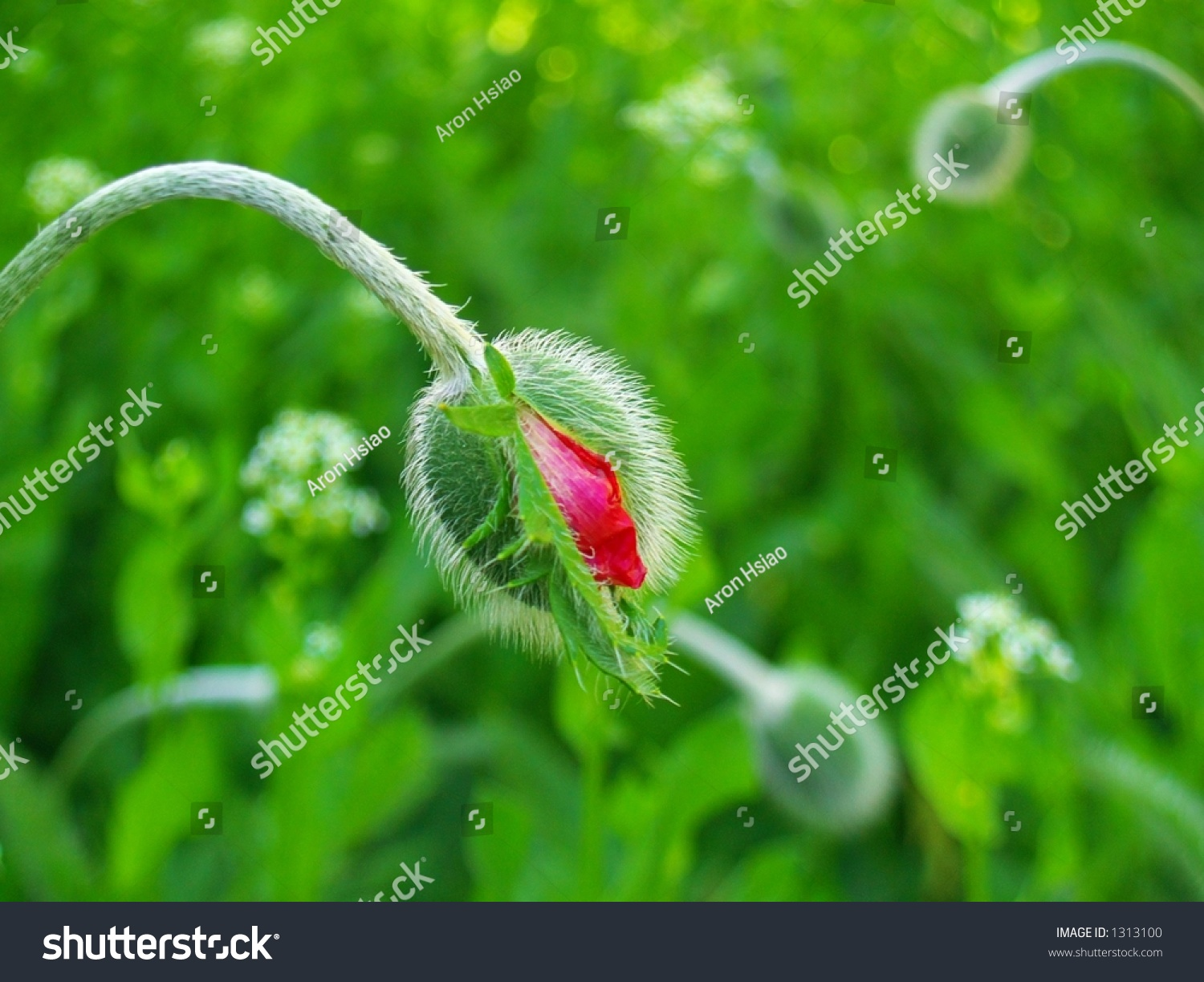 Large Budding Red Pink Poppy Flower Stock Photo Edit Now 1313100