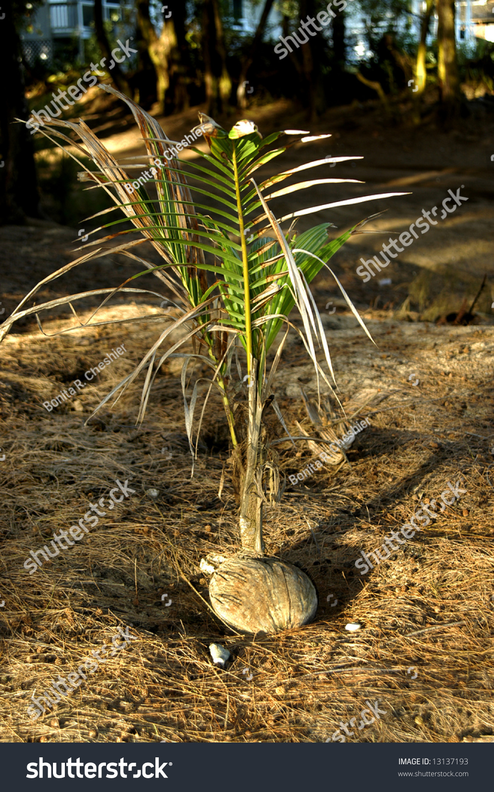how to grow a coconut tree indoors