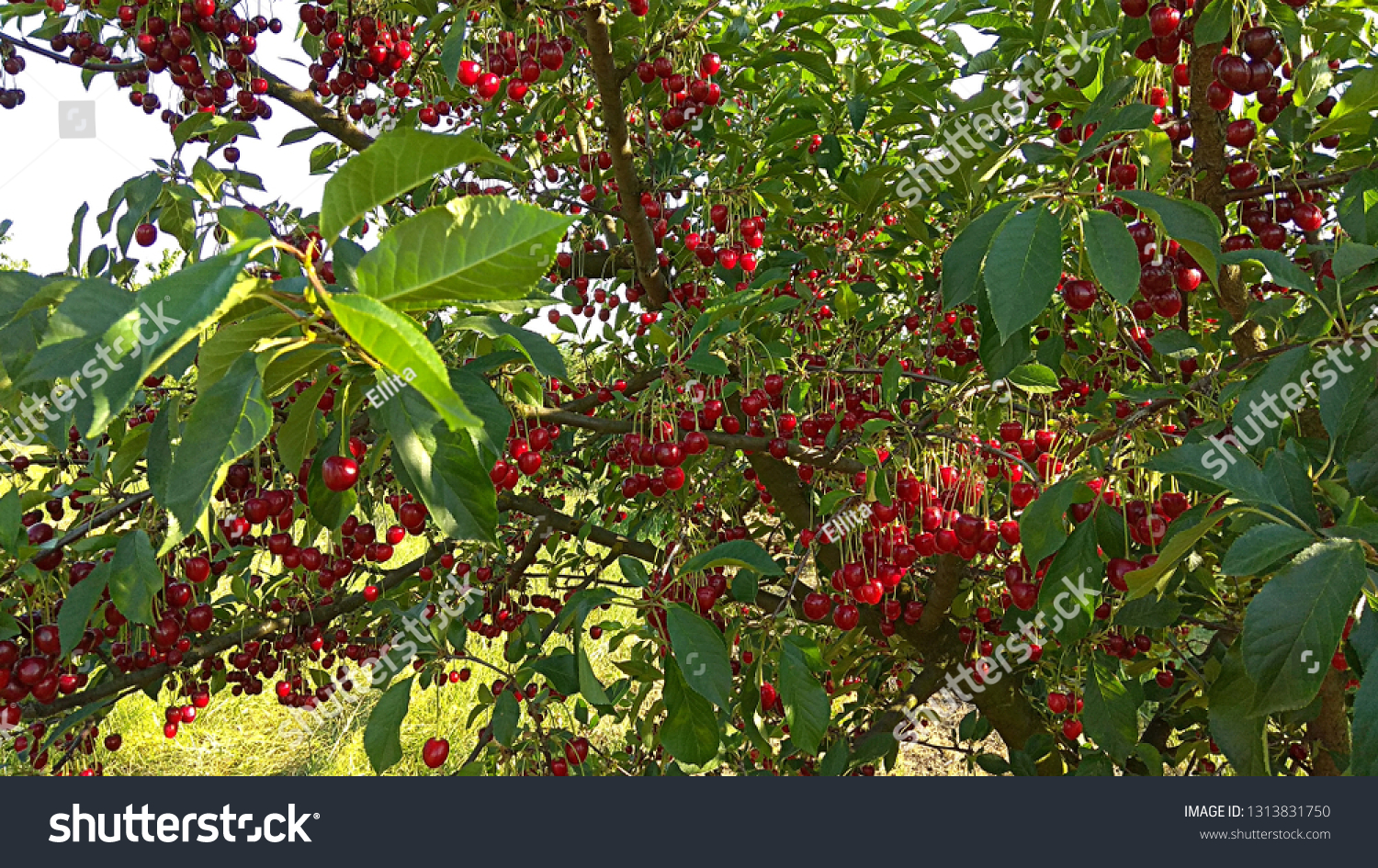 Non Fruit Bearing Tree Images Stock Photos Vectors Shutterstock