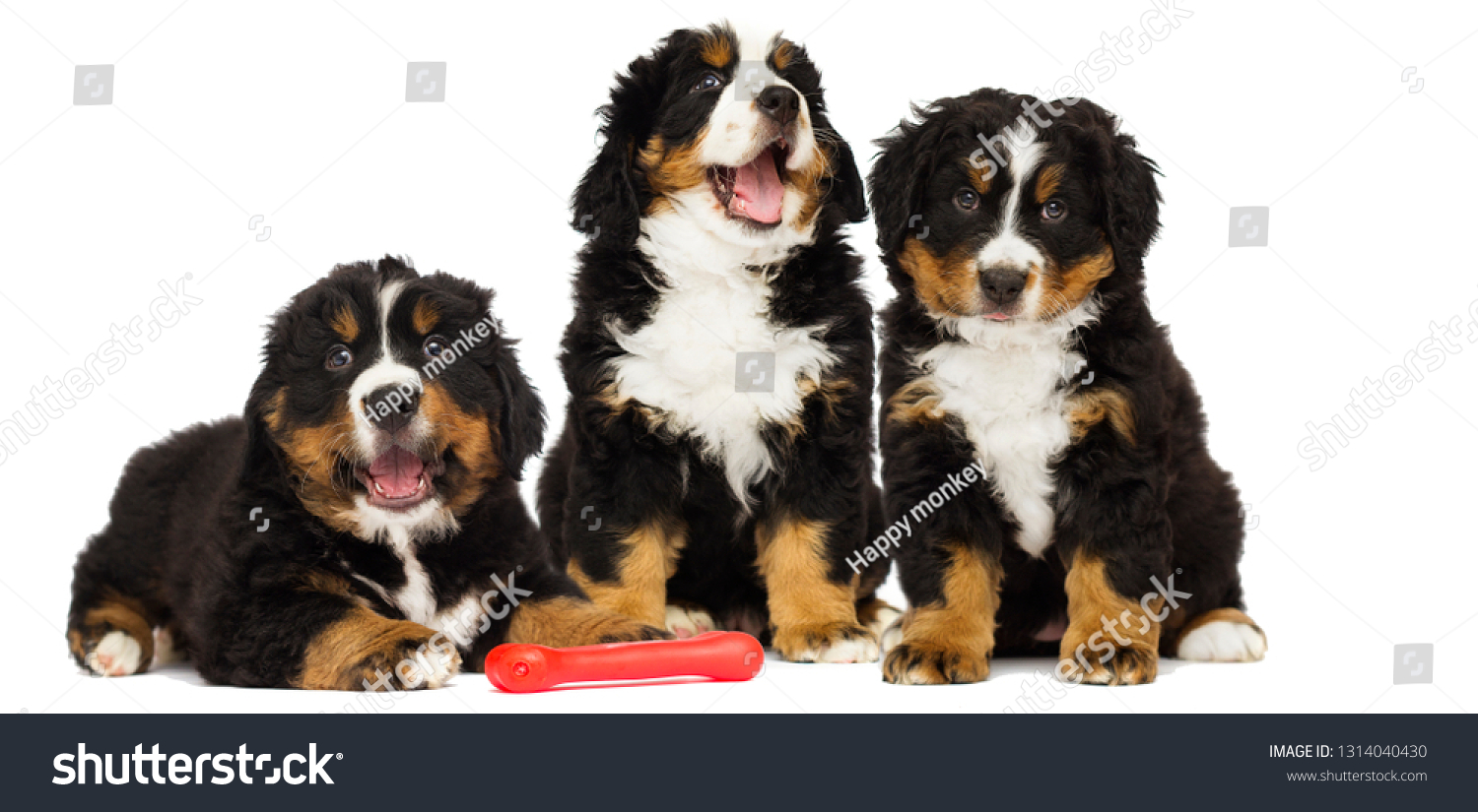 Cute Bernese Mountain Dog Puppy Stock Photo Edit Now 1314040430
