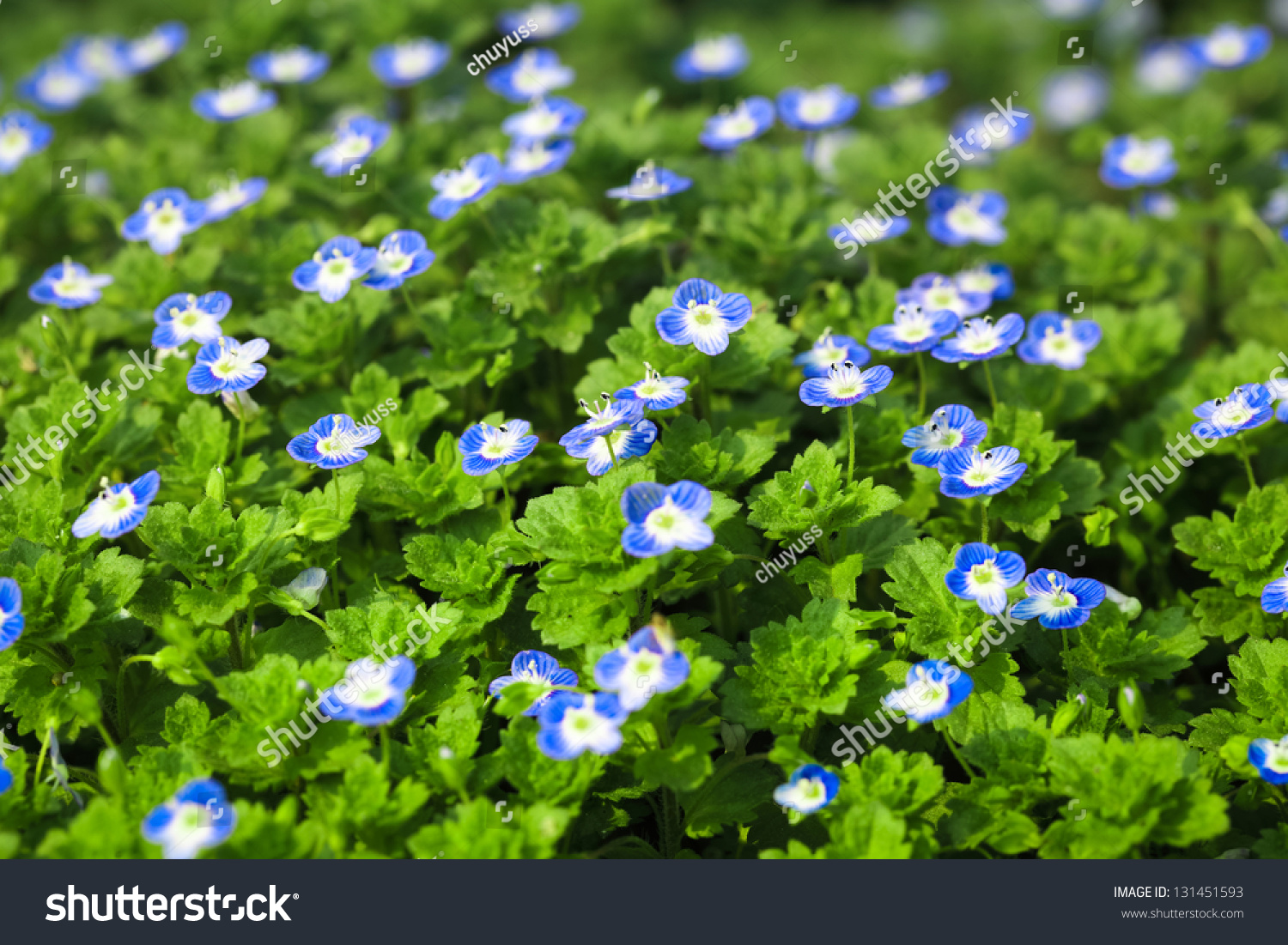 Blue Small Flower Full Bloom Early Stock Photo Edit Now 131451593