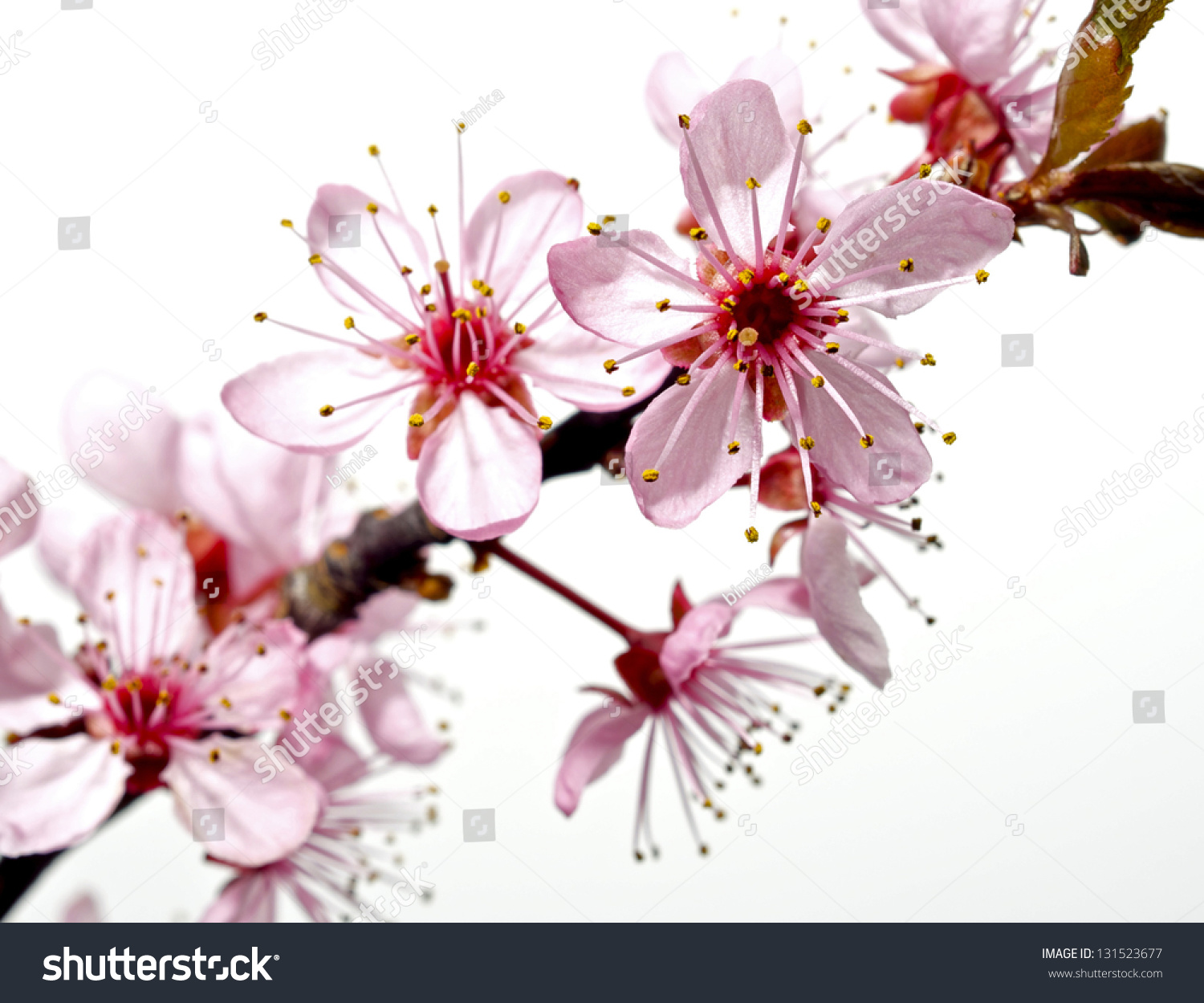 Branch Pink Flowers Japanese Cherry Tree Stock Photo 131523677