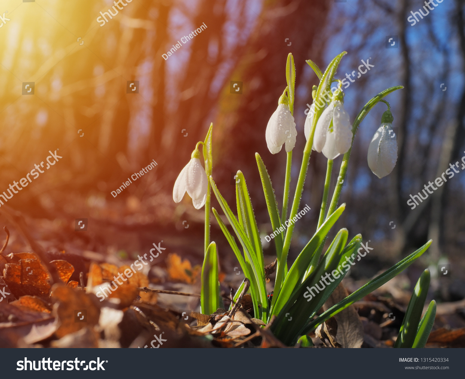 Snowdrop or common snowdrop (Galanthus nivalis) flowers #1315420334