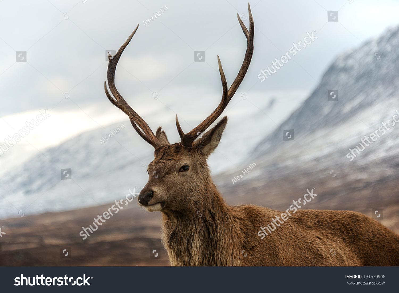 Male red deer posing camera scottish stock photo 131570906 for Deer scenery