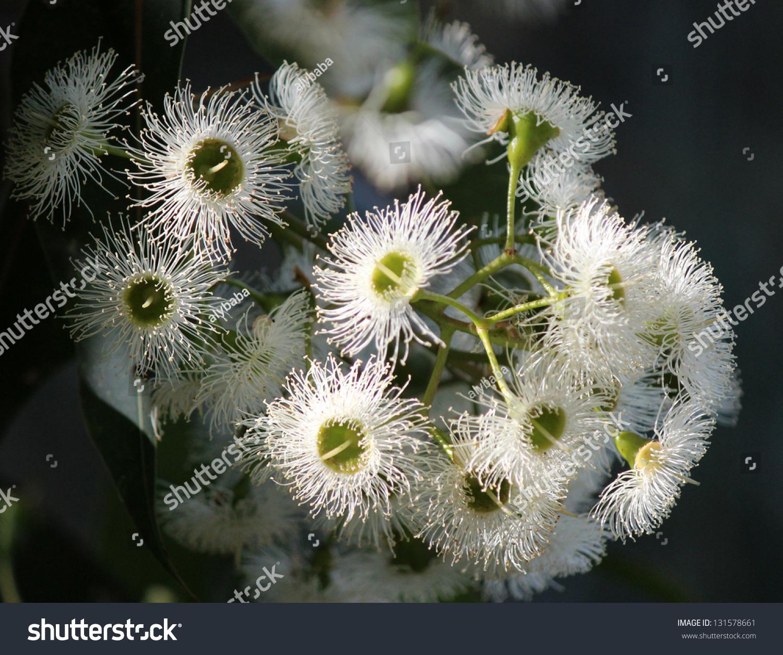 Delicate White Flowers Australian Eucalyptus Species Stock Photo