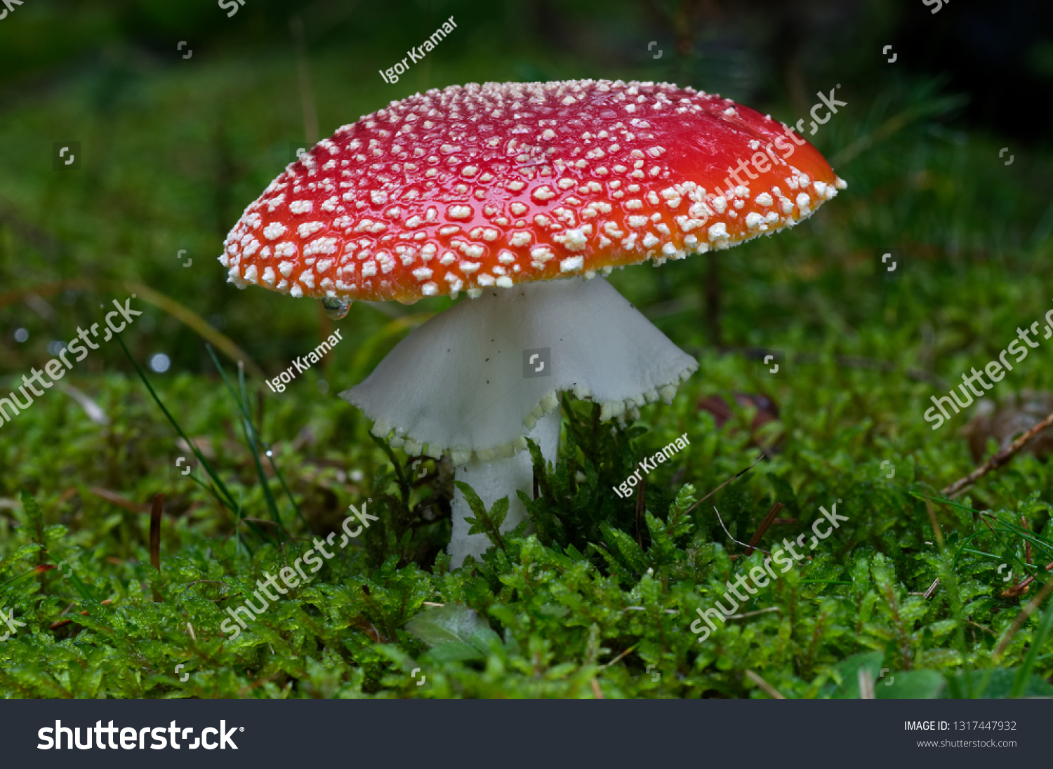 stock-photo-fly-agaric-amanita-muscaria-