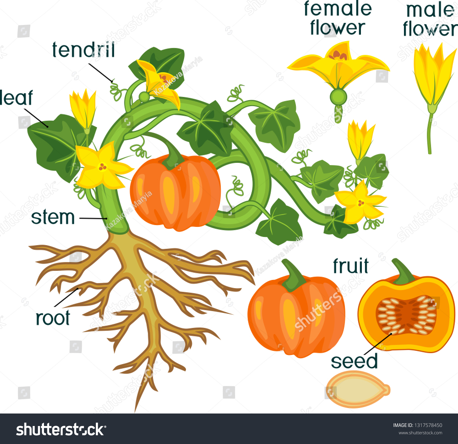 Parts Plant Morphology Pumpkin Plant Fruit Stock Vector Royalty Free 1317578450