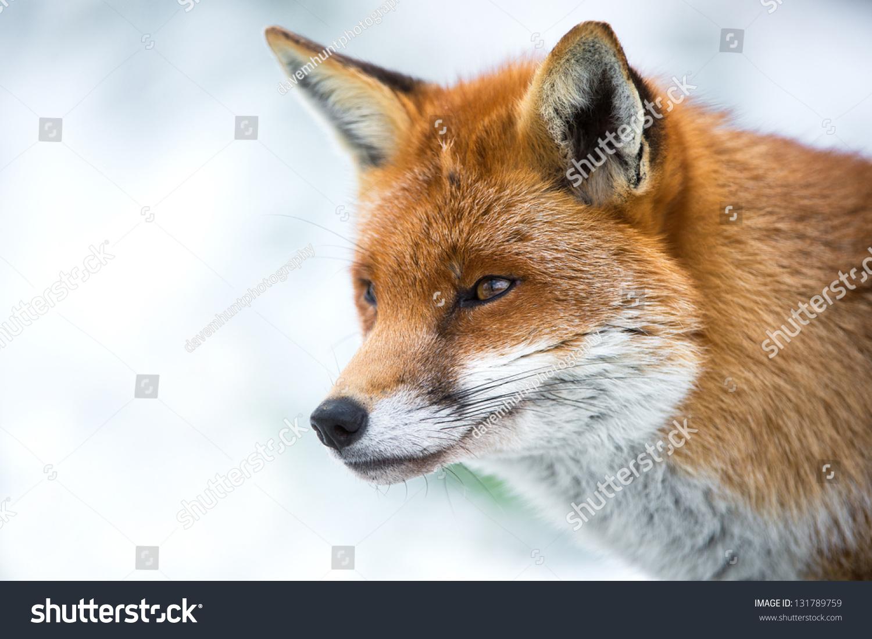 Landscape Close Fox Head Shoulders Profile Stock Photo Edit Now 131789759