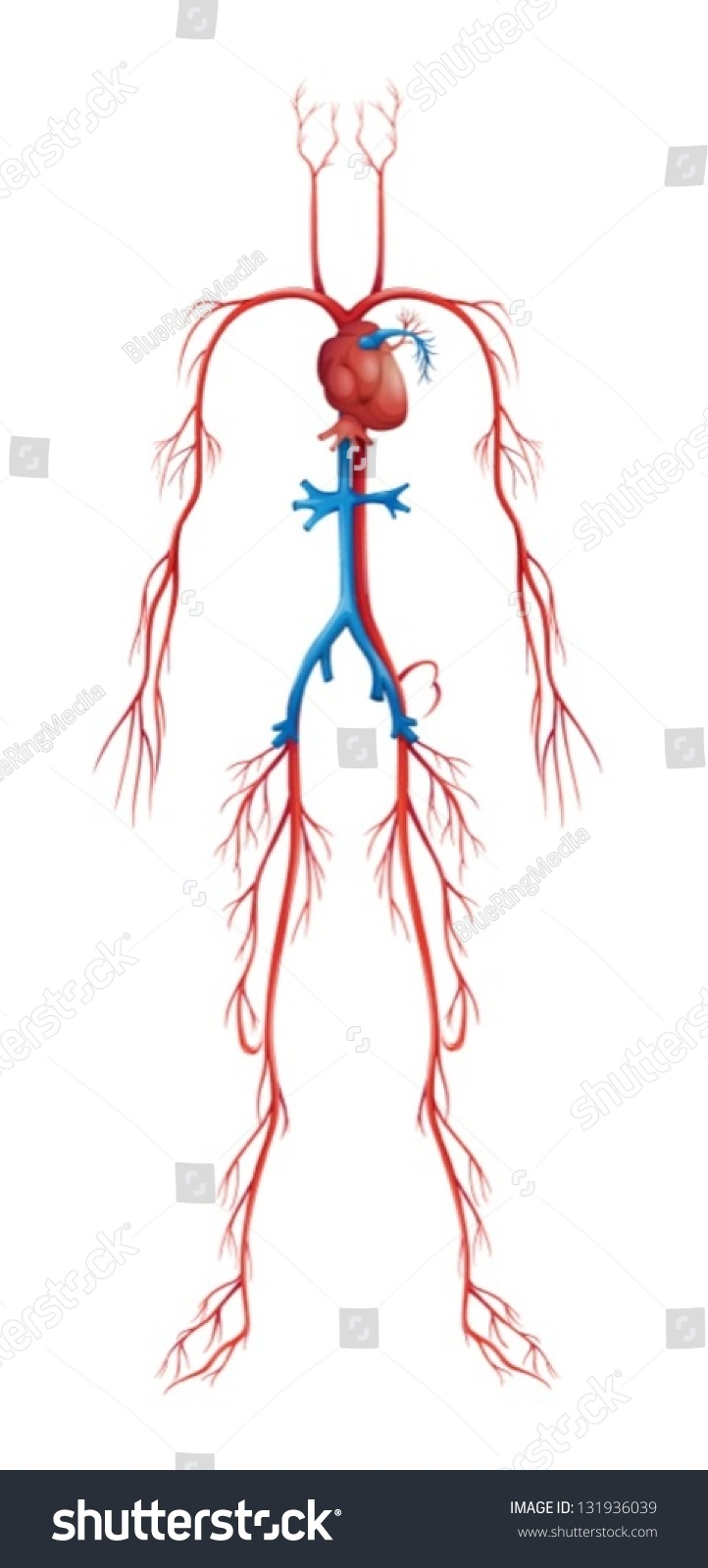 Illustration Isolated Human Circulatory System Stock Vector Royalty