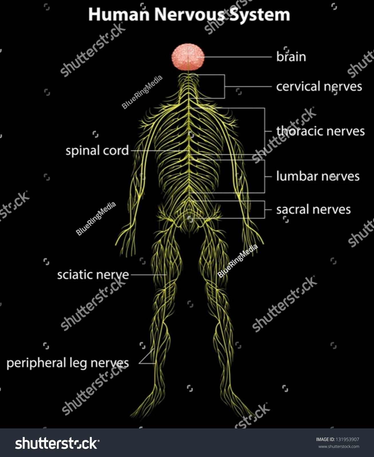 Human nervous system on display - photo#3