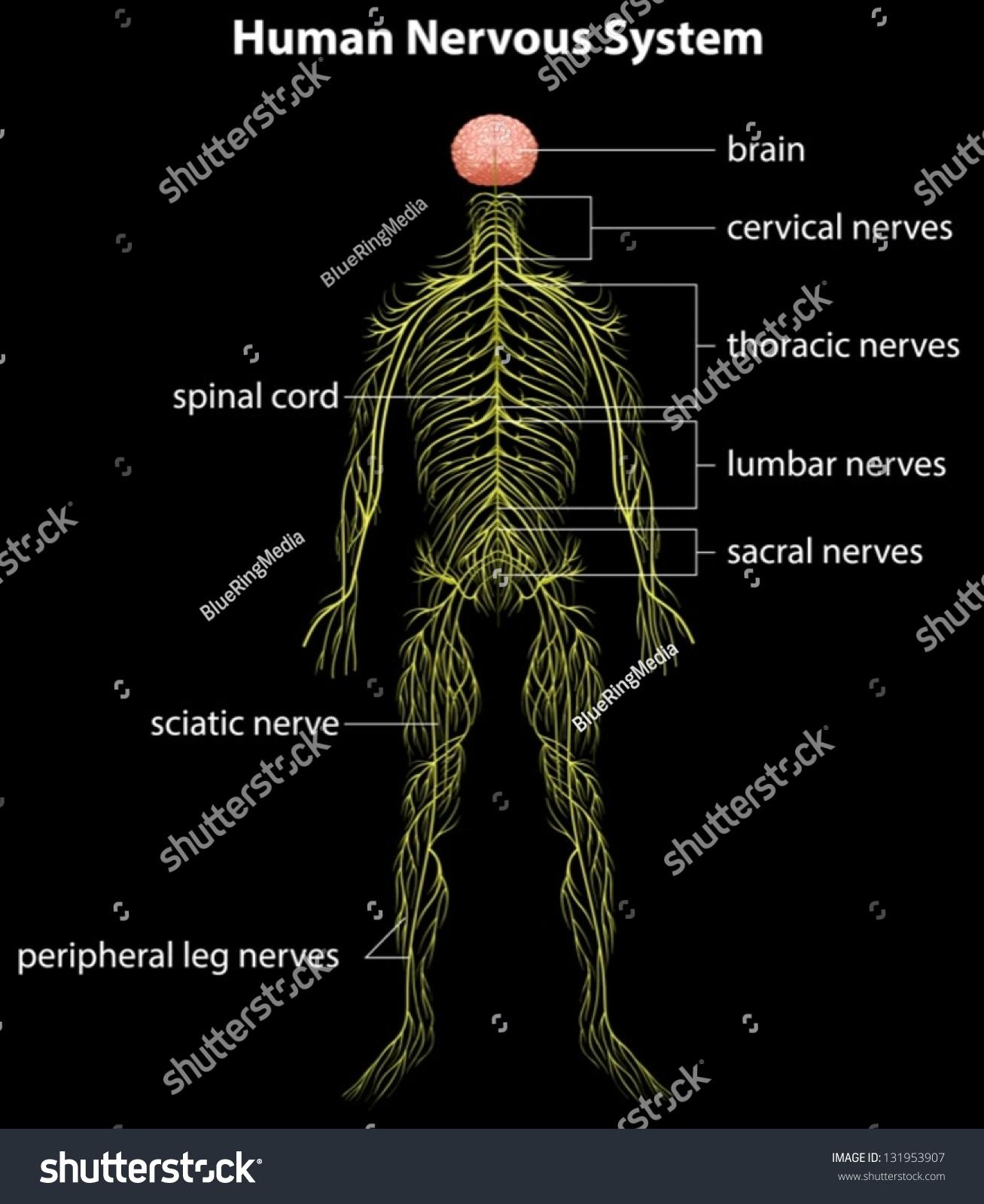 Illustration Human Nervous System Stock Vector Royalty Free