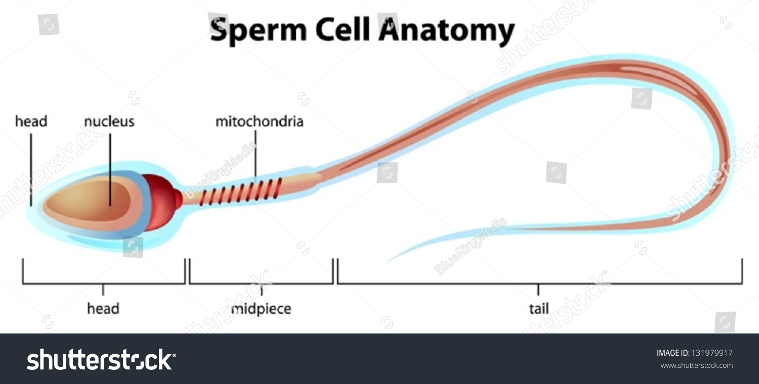 Illustartion Showing Structure Sperm Cell Stock Vector 131979917 ...